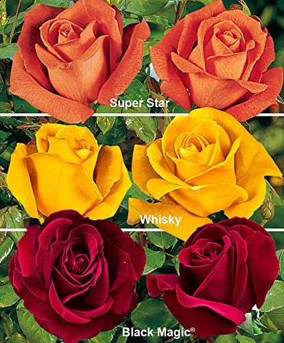 Rose grandiflora in 3 var.-1 confezione da 3-Rose