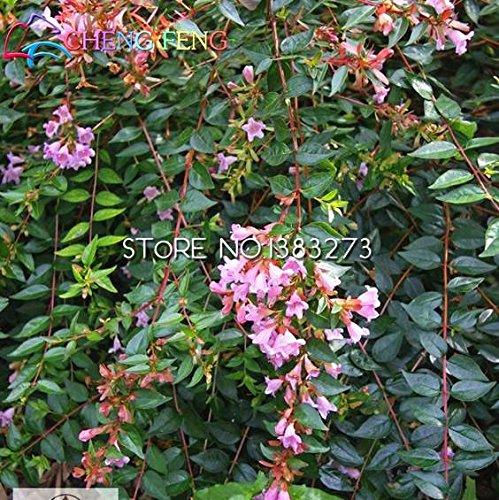 Promociones grandes 20pcs / lot frescas Semillas Semillas genuino Abelia Mini Flores Bulbos Bonsai Plantas para jardín de flor: Amazon.es: Jardín