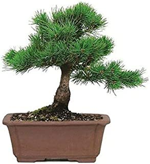 Bonsai Tree Japanese Five Needle Pine 5 Years Tray Outodor Live Plant A6