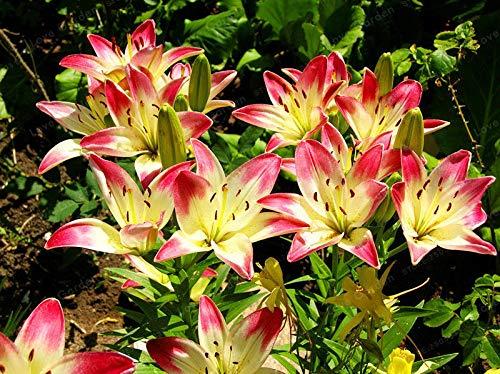 Shoopy Star 2 Zwiebeln Amaryllis Zwiebeln Echte Hippeastrum Zwiebeln, Barbados Lily (nicht Seeds) gemischt