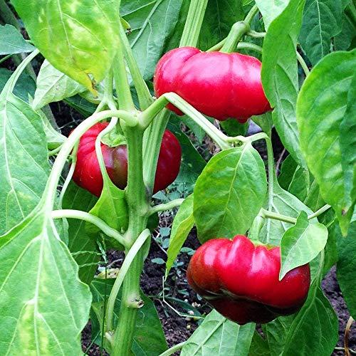 Samen für ca. 15 Pflanzen Olenka Paprika – Tomatenpaprika, ertragreich