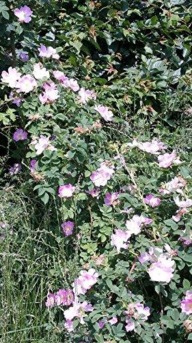 Weinrose / Schottische Zaunrose - (Rosa rubiginosa) ,Containerware 60-100 cm