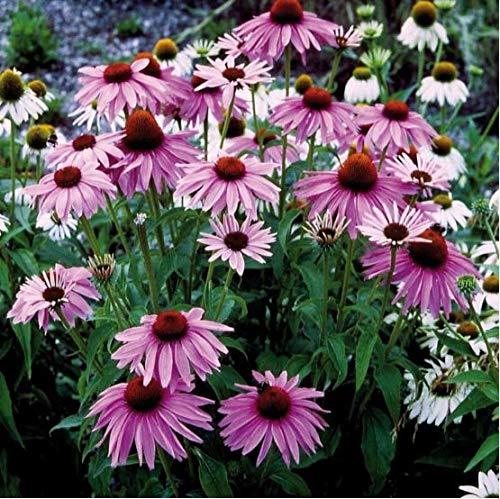 Qulista Samenhaus - Rosa Bienenweide Sonnenhut 'Magnus' duftend für Bienen Schmetterlinge Bodendecker schalenförmig Blumensamen winterhart mehrjährig pflegeleicht für Kübelpflanzung