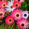 Tappeti Magici Semi Mixed - Mesembryanthemum criniflorum #1