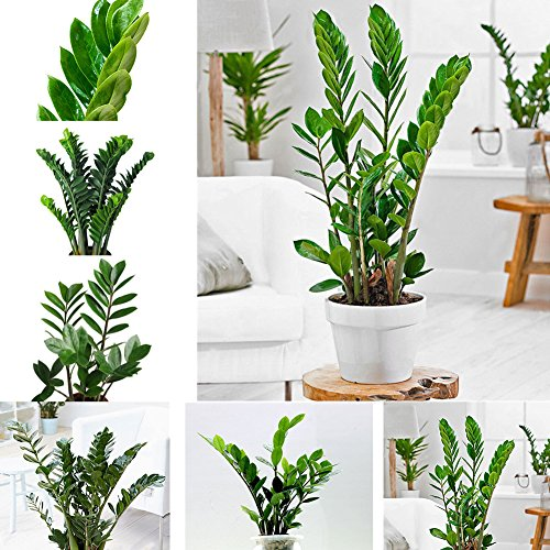 10 unidades de semillas de marihuana de bonsai de zamiifolia de zamiifolia para decoración interior y exterior