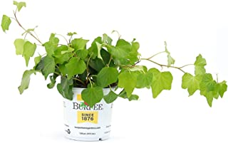 Burpee Ivy Hedera | Bright Indirect Light | Live Easy Care Indoor House Plant, 1, 4