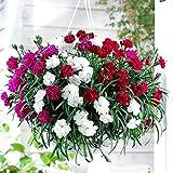 。庭のための花の種:カーネーションGaint Chaubadミックスフラワー種子雨季 - プロフェッショナル庭の花の種パック