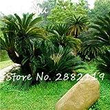 5: semi di cycas 20 pz/borsa revoluta semi di semi di fiori in vaso semi di alberi bonsai per giardino bonsai piante facili da coltivare