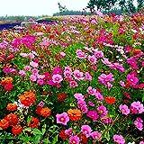 B/H mehrjährig winterhart Samen,Samen für Ihr Garten Balkon,Gesang Flower Cosmos Sonnenblume Zinnia Seeds-500g_Coreopsis grandiflora