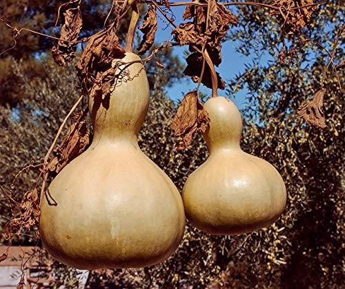Bobby-Seeds Kürbissamen Calabash Portion