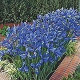 BRECK'S Discovery Dutch Iris Spring Flowerin Bulbs - Each Offer Includes 25 Bulbs