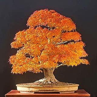 20pcs Yellow Japanese Maple Tree Bonsai Seeds Acer Palmatum Atropurpureum