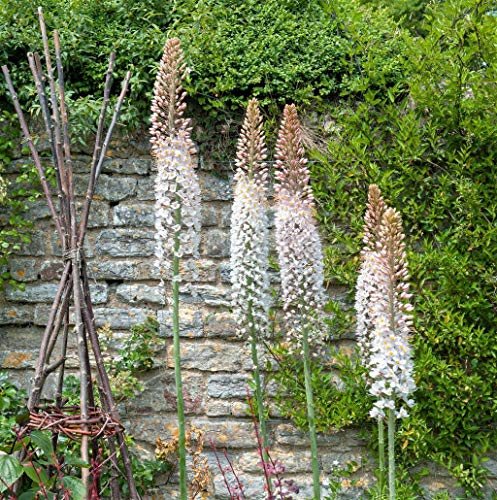 PRE-Order for Fall (Grand) Eremurus (Bulbs) (Robustus (Foxtail Lily, Desert Candle))