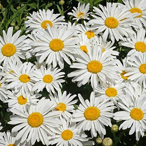 5000 Stück Shasta Gänseblümchen Samen Mehrjährige Blume Hausgarten Bonsai Zierpflanze Gartenpflanzensamen Daisy Seeds