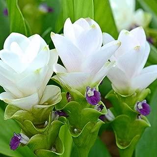 5 Plants Bulbs Snow White Siam Tulip Curcuma Alismatifolia Tropical Fresh and Viable + Free Phyto Flower Fresh & Viable from Garden