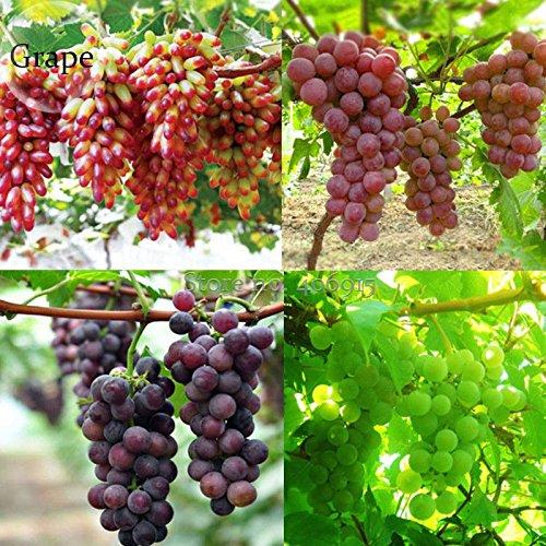 Pinkdose® 2018 heißer Verkauf mischte süße kernlose Trauben-Früchte, 15 Samen, saftiges Fleisch süß und köstliche grüne rote dunkelpurpurne Früchte E3685