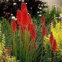25 Red Hot Poker Seeds Torch Lily Wild Flower Kniphofia Uvaria Perennial Garden