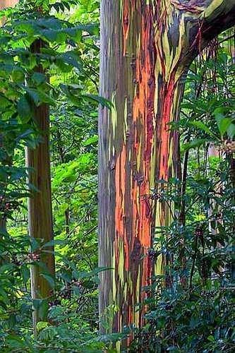 deglupta de eucalipto del arco iris -Tree - Rainbow-Gum - 20 semillas