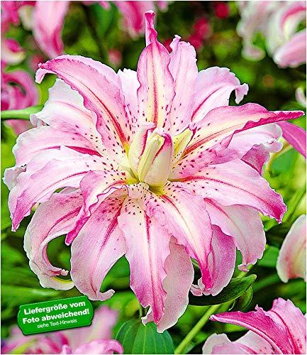 BALDUR-Garten Riesen-Lilien Broken Heart gefüllt, 3 Knollen Lilium winterhart