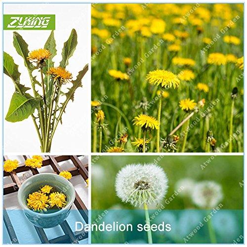ZLKING 100 Pcs blanc Graines de pissenlit Plante en pot des fleurs jaunes Graine de pissenlit flottant dans la cour pour jardin Bonsai