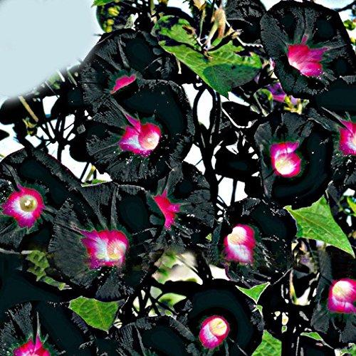 FastDirect Semillas de Gloria de la Mañana 30 PCS Semillas de Flores Enredaderas para Jardin, Balcon Interior, Huerto, Patio