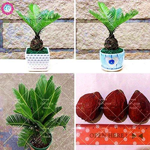 1 Pcs Graines Cycas Balcon Plantation de fleurs en pot Graine Bonsai Cycads Arbre plantes vivaces pour jardin Big Seed