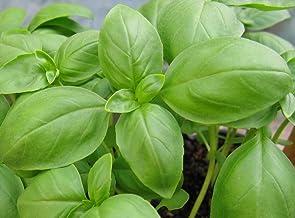 Basil Herb Seeds- Genovese- Pesto Heirloom- 300+ Seeds