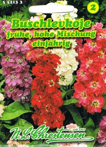 Buschlevkojen 'Frühe hohe Mischung' einjährig, starkduftend, Beet- und Gruppenpflanze, 'Matthiola incana' Levkoje