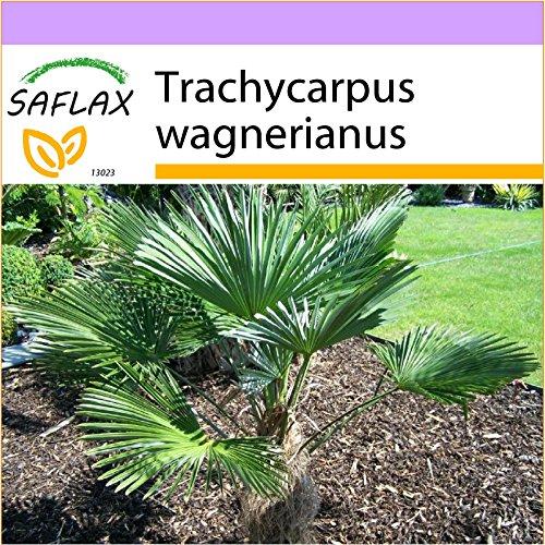 SAFLAX - Hanfpalme wagnerianus - 4 Samen - Trachycarpus wagnerianus