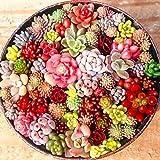 MURIEO jardín- 100 Unids Semillas Mixtas Suculentas Rare Living Stones Cactus Planta DIY Home...