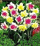 Keland Garten - Selten Narzissen'Double Duo Mix' Schmetterlings-Narzissen Rainbow of Colors, Blumensamen winterhart mehrjährig für Balkon/Garten/Blumenwiese/Terrase