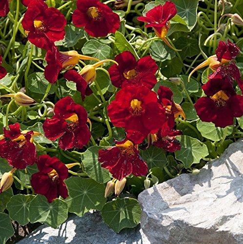 dunkelrote Kapuzinerkresse Tropaeolum majus 'Crimson Emperor' 30 Samen