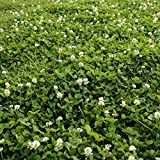 White dutch clover seed is a perennial used for erosion control, lawn alternative, food plots, green manure crop, pasture mixtures, ground cover, and many other uses. This perennial seed can be grown across the country for deer food plots, erosion co...