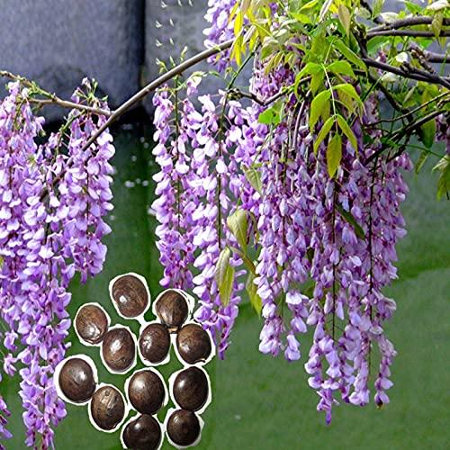 Semillas florales, 50pcs / Semillas Bolsa floral agradable de aspecto Fácil Rápido Crecimiento de...