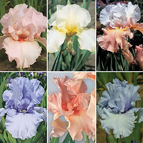 6 Mix Iris Bulbs Pretty Bearded Iris Special Offer Bonsai Roof Decoration Miniascape Summer Flowering Garland