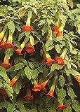 TROPICA - Tromba degli angeli / gialla (Brugmansia sanguinea) - 10 semi - mediterraneo