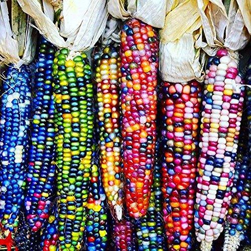 20 doux arc-en-maïs Semences de maïs grains colorés Céréales Graines de haute qualité des légumes pour jardin Facile à cultiver Livraison gratuite Noir
