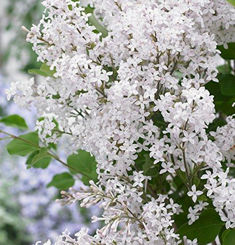 Zwergflieder Flowerfesta®White...
