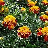 Marigold Seeds - Tagetes Patula - 60 Fresh French Marigold Seeds - Orange Flame