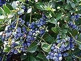 Highbush Blueberry Plạnt 'Top Hat' Rabbiteye Blueberry Bushes Lịve Plạnt