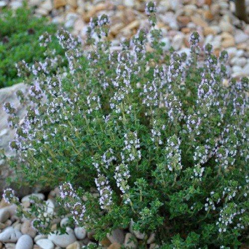 Thym de Provence 350 graines