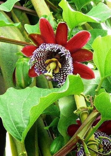 TROPICA - Riesengranadilla/Königsgranadilla (Passiflora quadrangularis) - 12 Samen