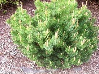 Germination Seeds ONLY NOT Plants: 25 Mugo Pine Evergreen Shrub Pinus Pumilio Seeds + Gift & Comb S/H