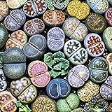 ypypiaol 100 Unids Lithops Rare Living Stones Suculenta Planta Jardín Al Aire Libre Bonsai Balcón Decoración Semillas suculentas