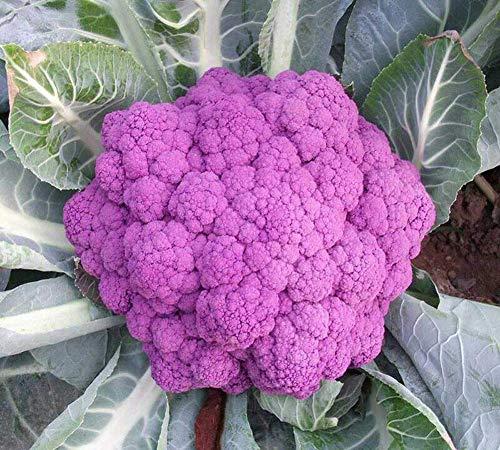 Graines de chou-fleur pourpre 100+ brocoli biologique sans OGM herbes vertes pour la maison jardin extérieur cour ferme plantation