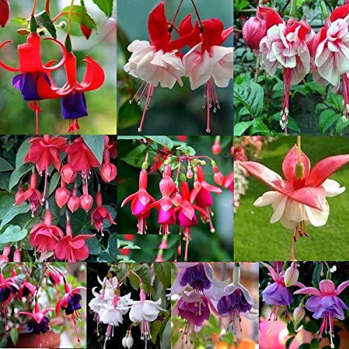 Go Garden 04: 10 Style de Hardy Bush Fuchsia Graines de fleurs Golden Bell jardin Plantes Décor