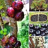 Portal Cool Vert: 100pcs jaboticaba Graines Graines de fruits Bonsaï raisin graines de plantes d'intÃrieur Zz 04