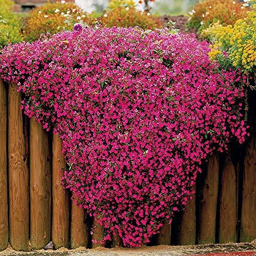Keland Garten - 100pcs Raritäten rosa Kissen Seifenkraut Bodendecker seltene Steingartenpflanze, Blumensamen Mischung winterhart mehrjährig, Ideal für Stein- und Dachgärten