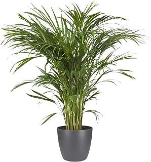 Planta de interior – Palma Areca en maceta antracita como un conjunto – Altura: 90 cm