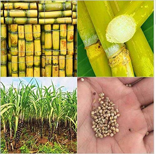 100pcs Gemüse und Obst Zuckerrohr Samen sind reich an Zucker Zuckerrohr Bonsai Topfpflanzen für Haus & Garten